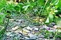 Eragrostis albensis.jpg