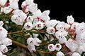 Erica 'Melanthera White'.jpg