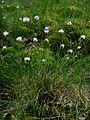 Eriophorum-vaginatum.JPG