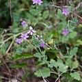 Erodium malacoides-Erodium fausse mauve-Fruits-20140804.jpg