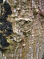 Erythrina sandwicensis (5209443935).jpg