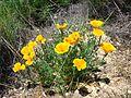 Eschscholzia californica (1).jpg
