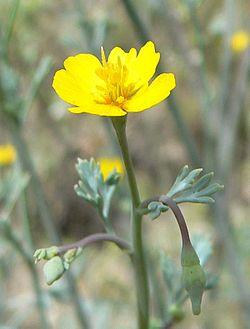 Eschscholzia minutiflora flower.jpg