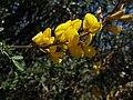 Escobilla - Adenocarpus flores (19280431149).jpg
