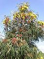 Eucalyptus erythrocorys 1c.JPG