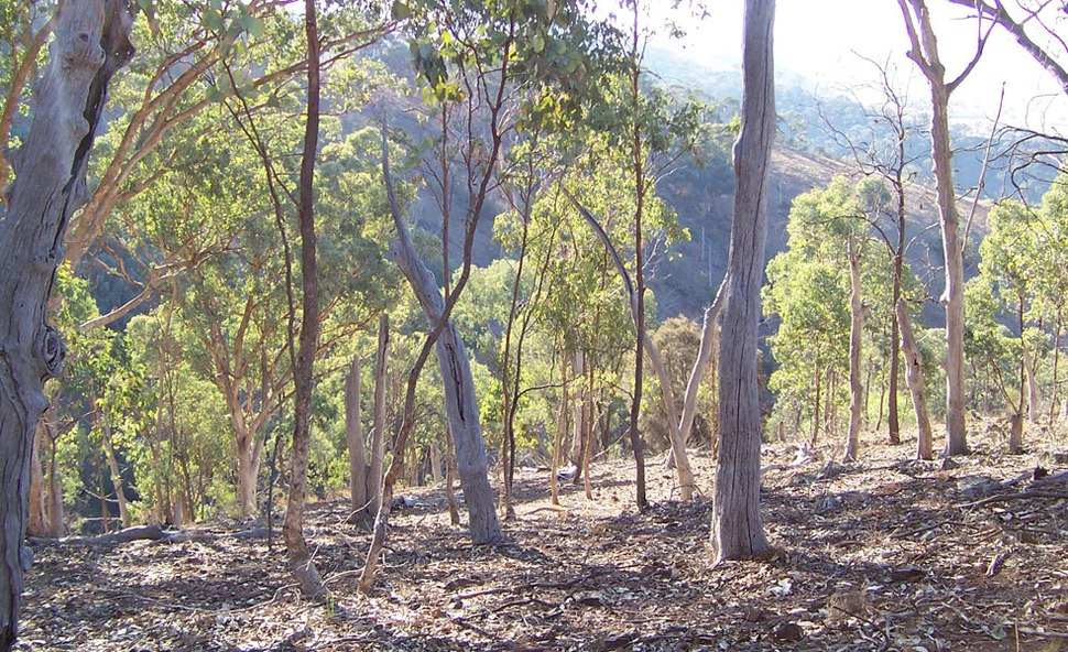 Eucalyptus forest2