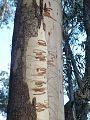 Eucalyptus fraxinoides Mt Budawang.JPG