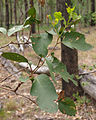 Eucalyptus moluccana foliage.jpg