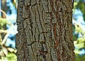 Eucalyptus sideroxylon.jpg