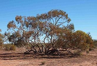 Eucalyptus socialis - Eucalyptus socialis