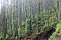 Eukalyptus-Wald auf Madeira im Dezember 2016 II.jpg