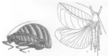 Eulophophyllum thaumasium Hebard 1922.png