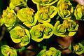Euphorbia cyparissias ENBLA03.jpeg