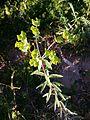 Euphorbia esula (16644750595).jpg