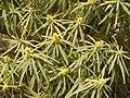 Euphorbia lamarckii (El Paso) 01.jpg