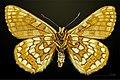Euphydryas cynthia MHNT CUT 2013 3 28 Col du Lautaret female ventral.jpg