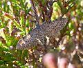 Eupithecia intricata^ Freyer's Pug - Flickr - gailhampshire.jpg