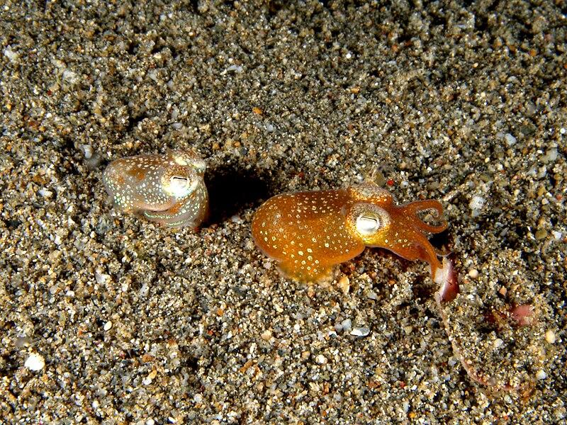 hawaiian bobtail squid and vibrio fischeri relationship tips