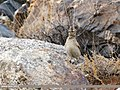 Eurasian Skylark (Alauda arvensis) (28344438678).jpg