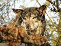 Europese Wolf (4423117920).jpg