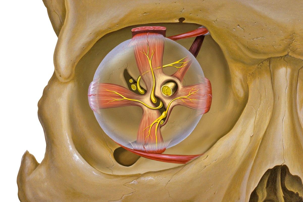 Eye orbit anterior.jpg