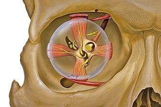 Extraocular muscles - Image: Eye orbit anterior