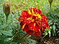 FLOWER WITH RED AND YELLOW PIGMENT.jpg