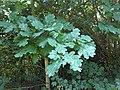 Fagales - Quercus robur - 50.jpg