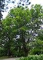 Fagus orientalis-dkrb(1)-2.jpg