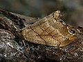 Falcaria lacertinaria - Scalloped hook-tip - Серпокрылка сухолистная (40138676614).jpg