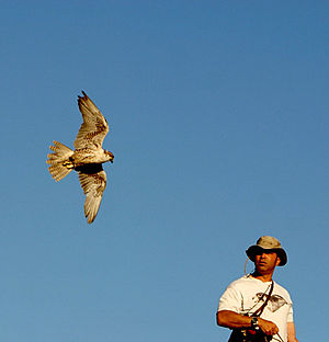 Falconry - Flying a saker falcon