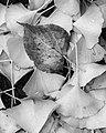 Fallen Leaves (30200016750).jpg