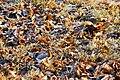 Fallen leaves in grass.JPG