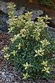 False Holly Osmanthus heterophyllus 'Goshiki' Bush 2000px.jpg