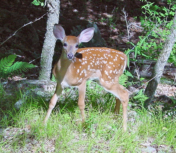 File:Fawn in Forest edit.jpg