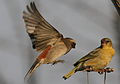 Female Cape Sparrow, incoming on a female Southern Masked Weaver. (9310192394).jpg