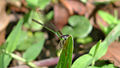 Female Common Bluetail face on (15824167279).jpg