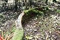 Ficus dammaropsis 0zz.jpg