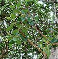 Ficus glumosa, loof en vrugte, b, Tuks.jpg