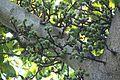 Ficus racemosa (357166584).jpg