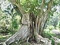 Ficus religiosa 01 by Line1.JPG