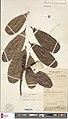 Ficus retusa herbarium sheet.jpg