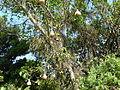 Ficus sur, besemtrosse, a, Pretoria NBT.jpg