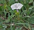 Field Bindweed (Convolvulus arvensis) in Hyderabad, AP W IMG 7910.jpg