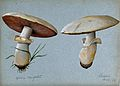 Field mushroom (Agaricus campestris); two fruiting bodies. W Wellcome V0043311.jpg