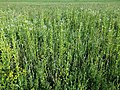 Filago vulgaris sl305.jpg