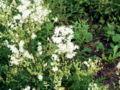 Filipendula vulgaris 001.jpg