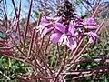 Fireweed (Chamaenerion angustifolium) - Thunder Bay, Ontario 01.jpg
