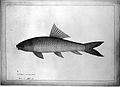 Fish 'Marka', no. 12. Wellcome L0019908.jpg
