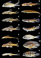 Fish species collected in the southern Guiana Shield tributaries of the Amazonas River-2.jpg